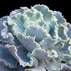 Echeveria  'Giant Blue'